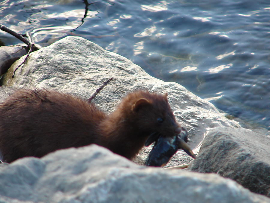 American Mink Photograph - Mink with a Round Goby by Randy J Heath