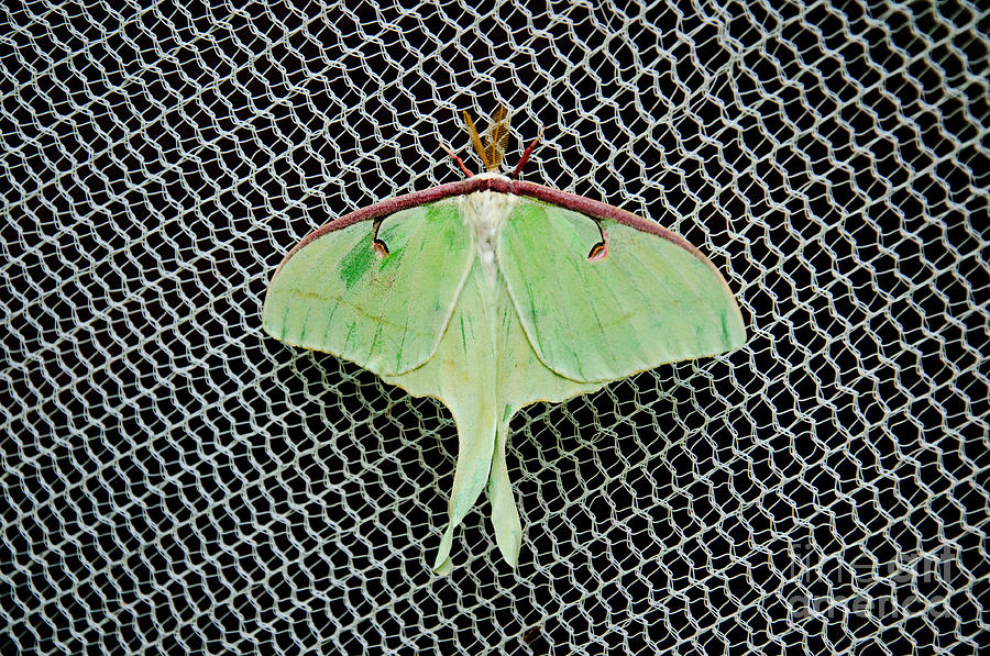 Luna Moth Photograph - Mint Green Luna Moth by Andee Design