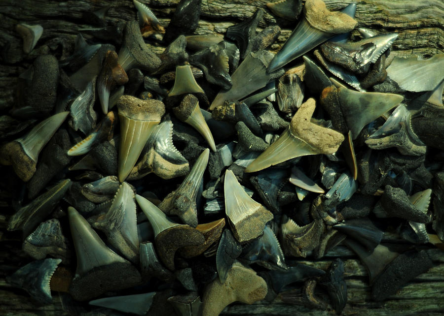 Miocene Fossil Shark Tooth Assortment by Rebecca Sherman