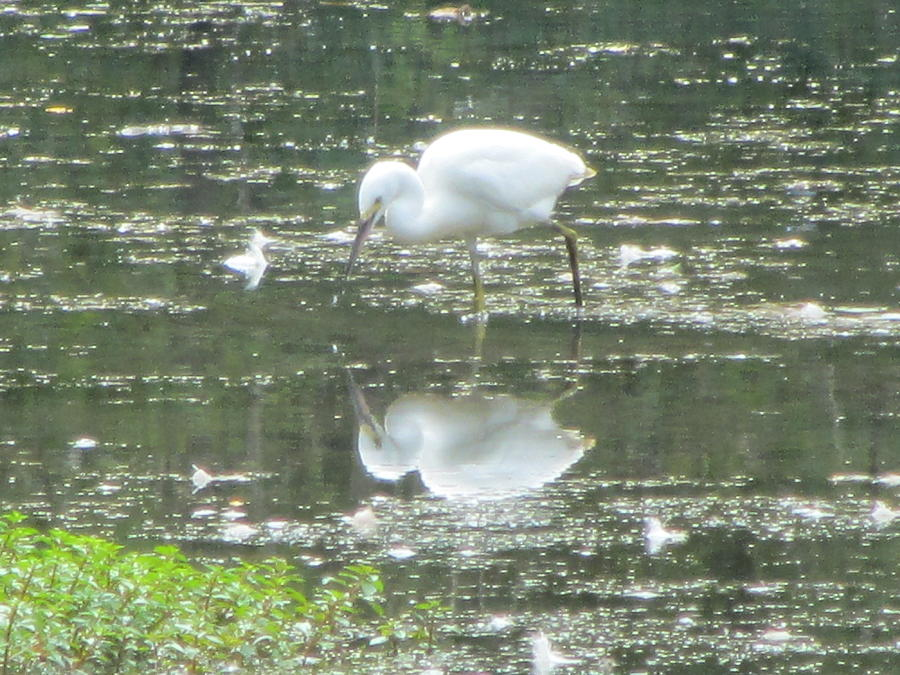 Mirror Image Photograph - Mirror Image Of The Snowy Egret by Debbie Nester