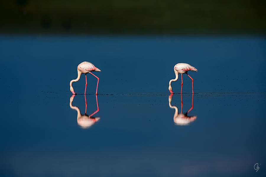 Phoenicopterus Roseus Photograph - Mirrored Flamingos by Jeppsson Photography