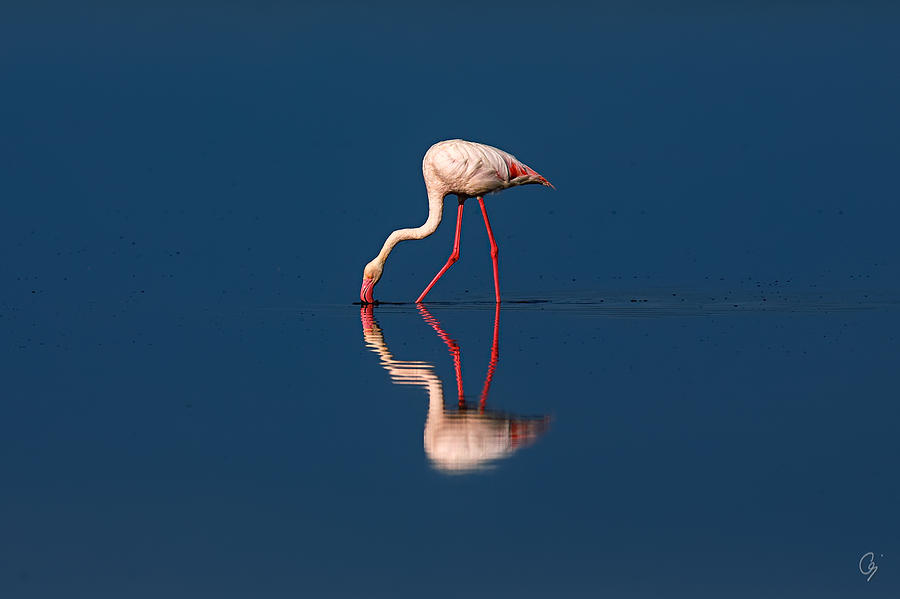 Phoenicopterus Roseus Photograph - Mirrored Solitaire by Jeppsson Photography