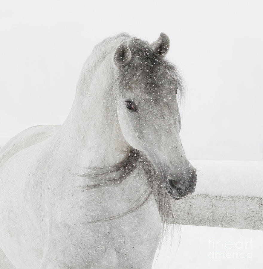 Andalusian Photograph - Mischievous Snowy Mare by Carol Walker