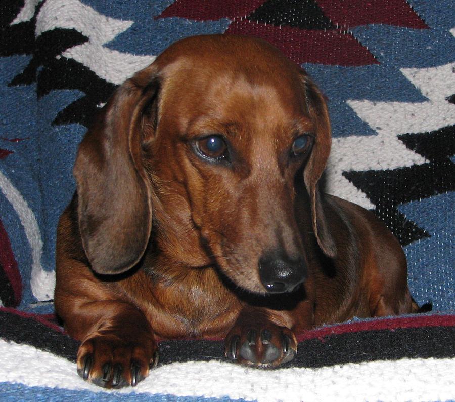 Dog. Dachshund Mixed Media - Miss Bitsy by Victoria Sheldon