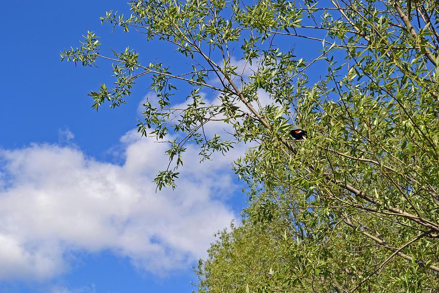 Black Bird Photograph - Miss Blackbird by Cyryn Fyrcyd