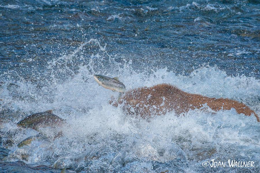 Alaska Photograph - Missed Salmon by Joan Wallner