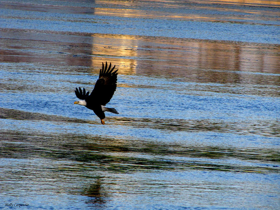Eagle Photograph - Mississippi Eagle by Holly Carpenter