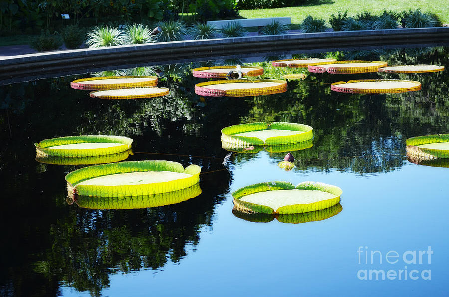 Flowers Photograph - Missouri Botanical Garden Giant Lily Pads by Luther Fine Art