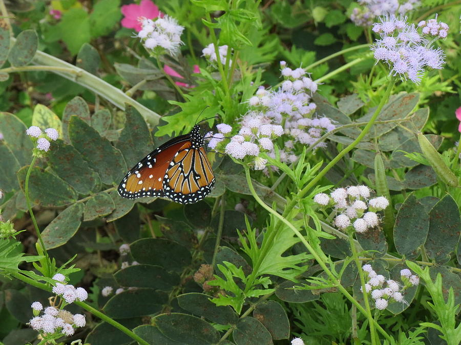 Mistflowers and Butterfly by Cindy Clements