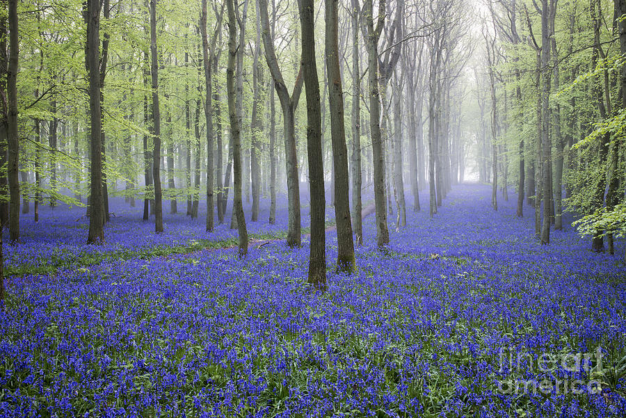 Hyacinthoides Non Scripta Photograph - Misty Dawn Bluebell Wood by Tim Gainey