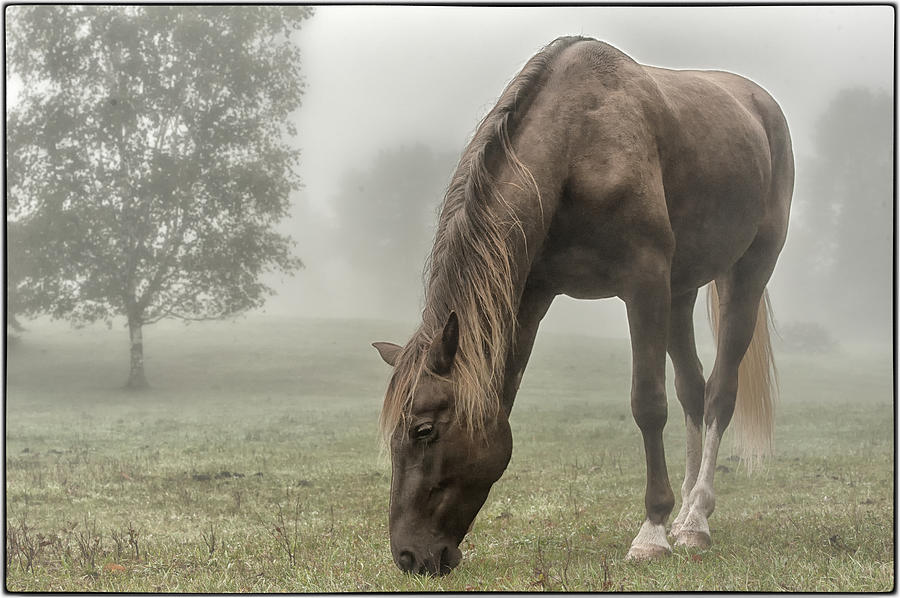 Rocky Mountain Horse Photograph - Misty Morning by Peter Lindsay