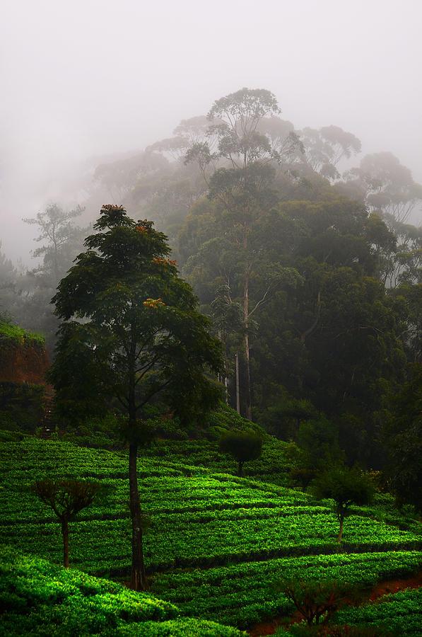 Sri Lanka Photograph - Misty Tea Plantations In Nuwara Eliya  by Jenny Rainbow