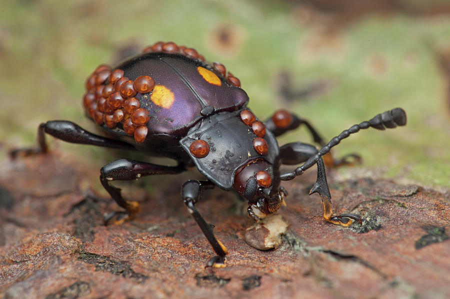 Nobody Photograph - Mites On Fungus Beetle by Melvyn Yeo/science Photo Library