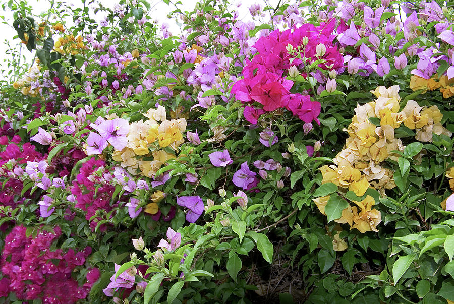 Bougainvillea Photograph - Mixed Bougainvillea Flowers by Brian Gadsby/science Photo Library
