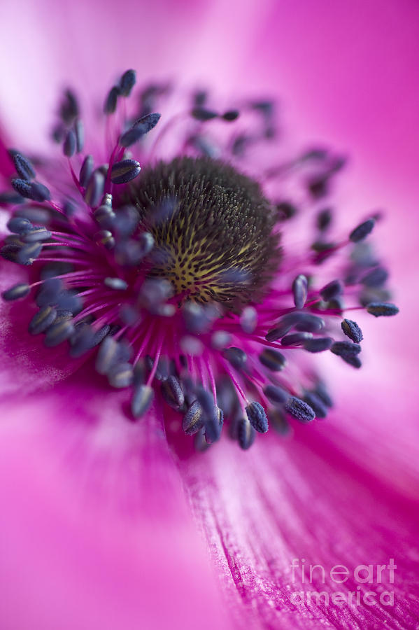 Anemone Photograph - Mixed Emotions by Jan Bickerton