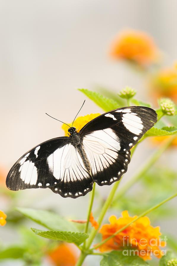 African Photograph - Mocker Swallowtail by Anne Gilbert