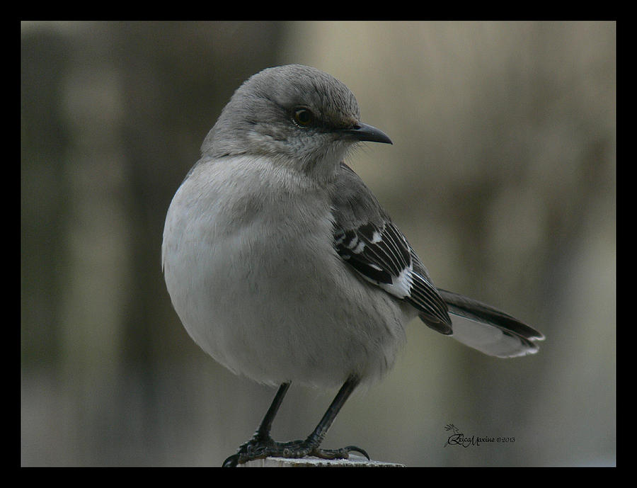 Mockingbird Photograph - Mocking Bird Cuteness - Featured In Wildlife Group by EricaMaxine  Price