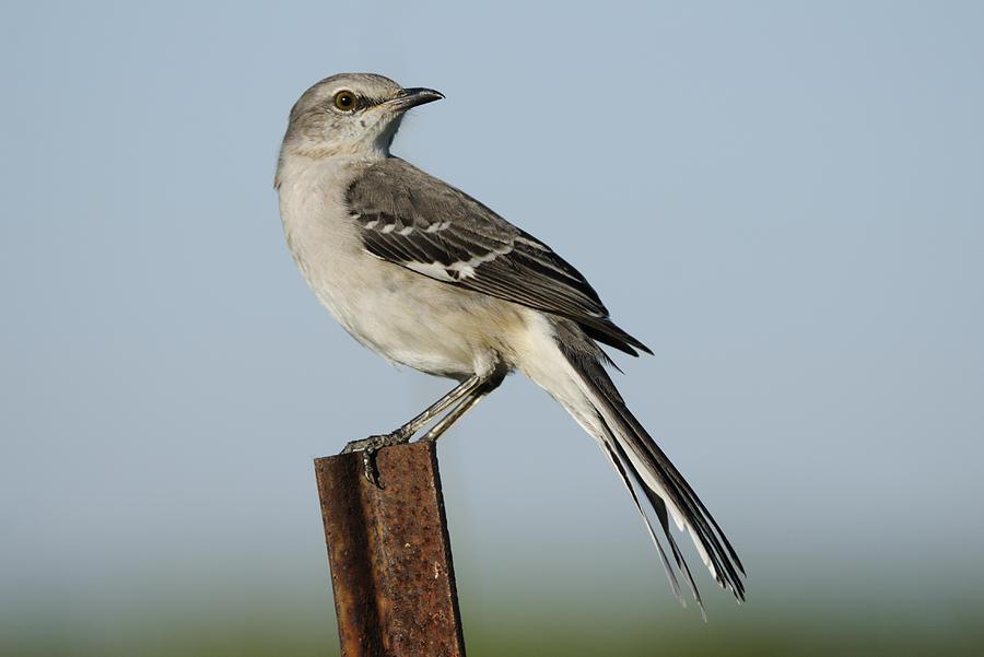 Mockingbird Photograph - Mocking Bird On A Metal Post by Bradford Martin