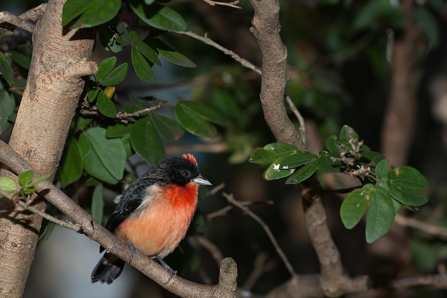 Bird Photograph - Mohawk by Paul Johnson