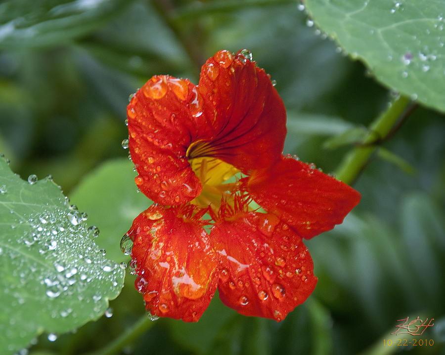 Nasturtium Photograph - Moist by Kenneth Hadlock