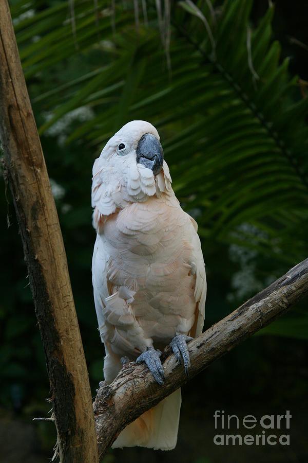 Moluccan Cockatoo Photograph