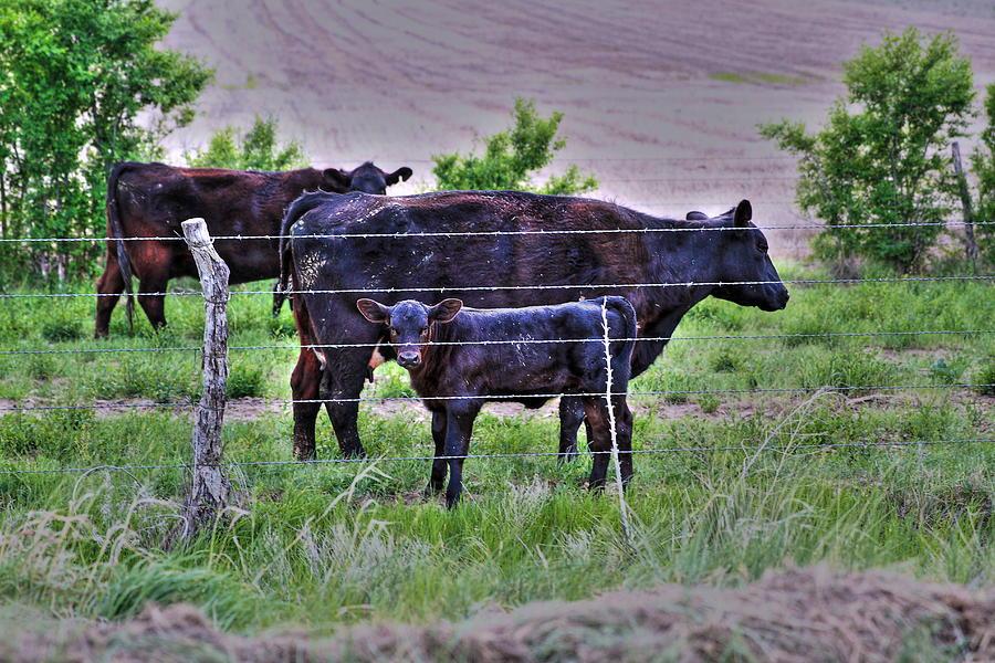 Calf Photograph - Mom And Calf by Jason Drake