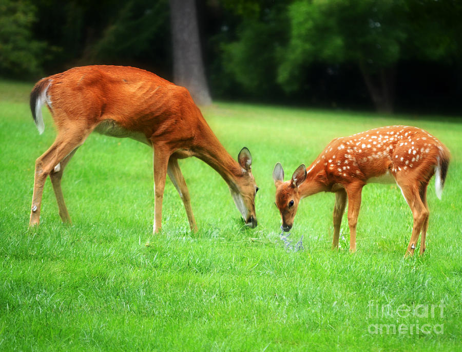 Mom Sharing A Snack With Her Baby Fawn Photograph