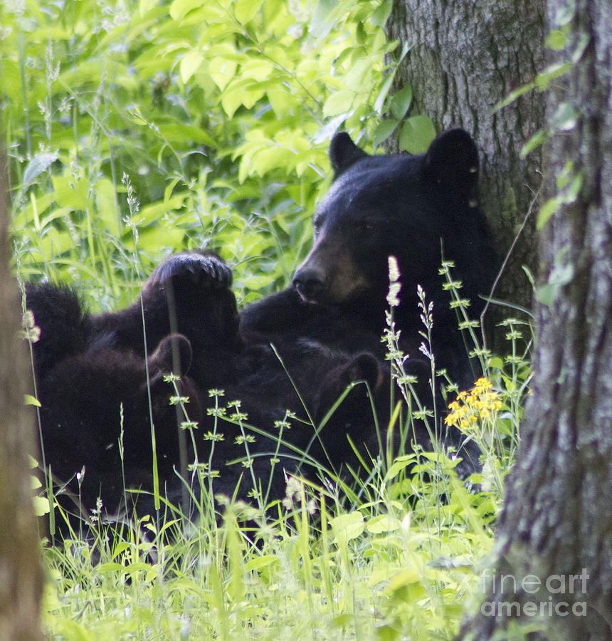 Momma Bear with Her Cubs Cades Cove by Cynthia Mask