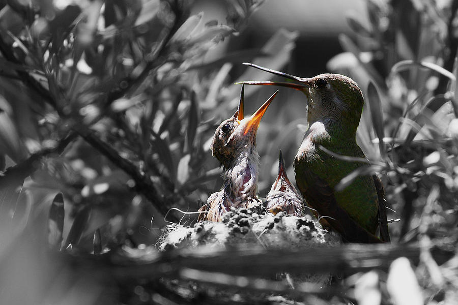 Hummingbird Photograph - Momma Hummingbird Feeding Babies by Old Pueblo Photography
