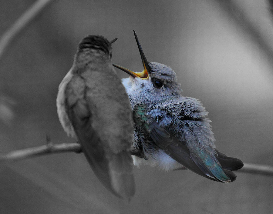 Baby Photograph - Momma Hummingbird Feeding Baby by Old Pueblo Photography