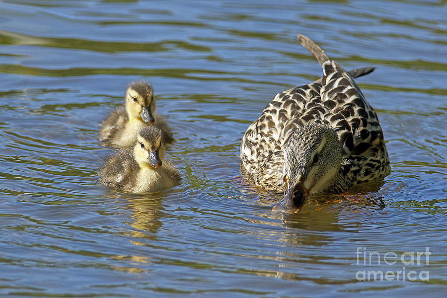 Mallard Photograph - Momma Mallard And Her Ducklings by Sharon Talson