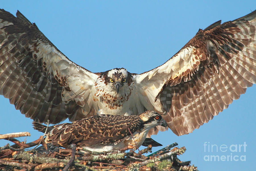 Osprey Photograph - Mommies Baby by Geraldine DeBoer