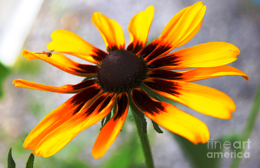 Black Eyed Susan Photograph - Moms Black Eyed Susan by Judy Palkimas