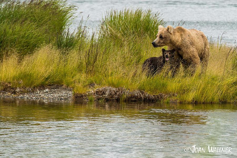 Alaska Photograph - Moms protection by Joan Wallner