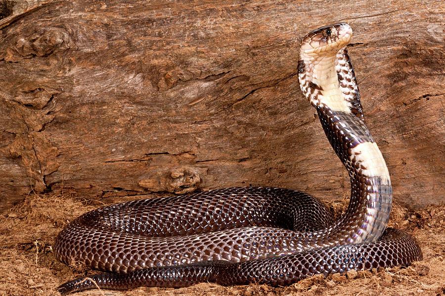 Monacled Cobra, Naja Naja Kaouthia Photograph by David ...Naja Kaouthia