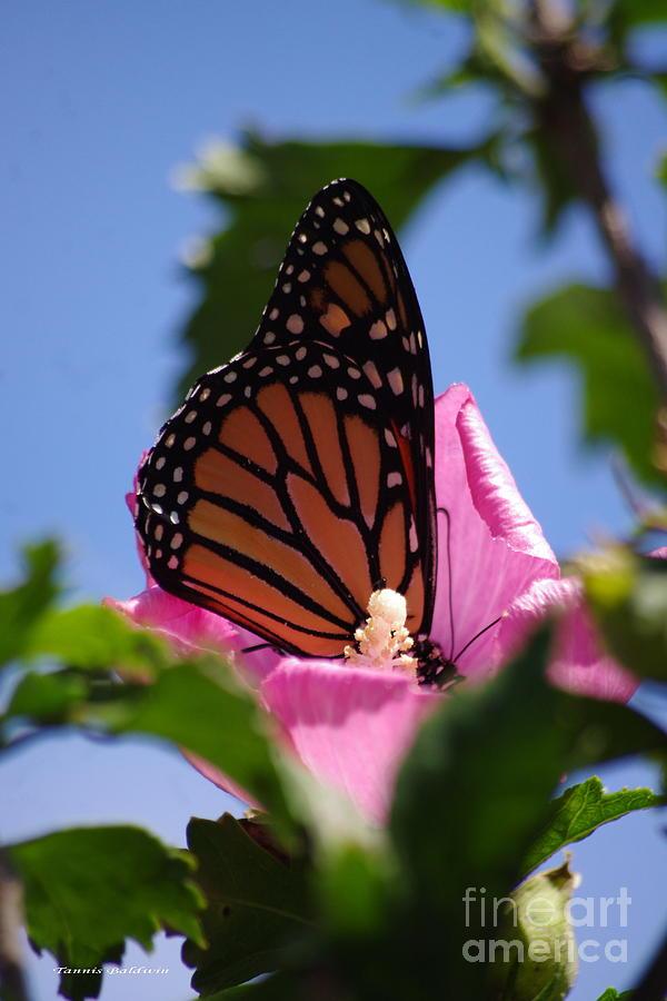 Monarch Photograph - Monarch 2 by Tannis  Baldwin