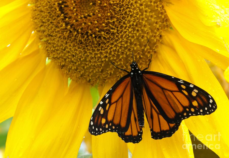 Sunflower Photograph - Monarch And Sunflower by Ann Horn