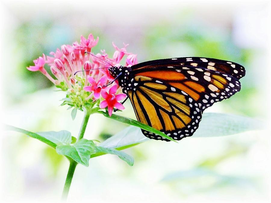 Butterfly Photograph - Monarch Beauty by Jim  Darnall