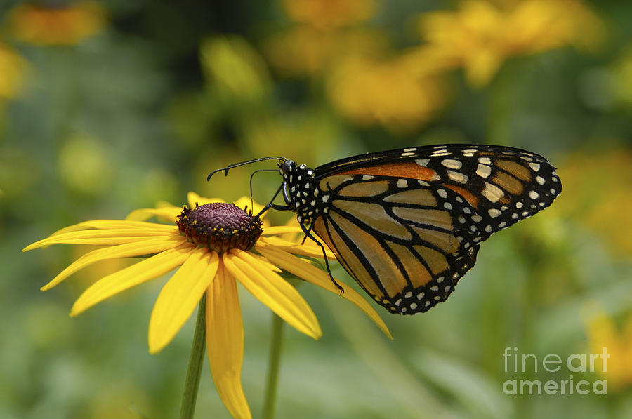 Monarch Butterfly Photograph - Monarch Butterfly by Anthony Sacco