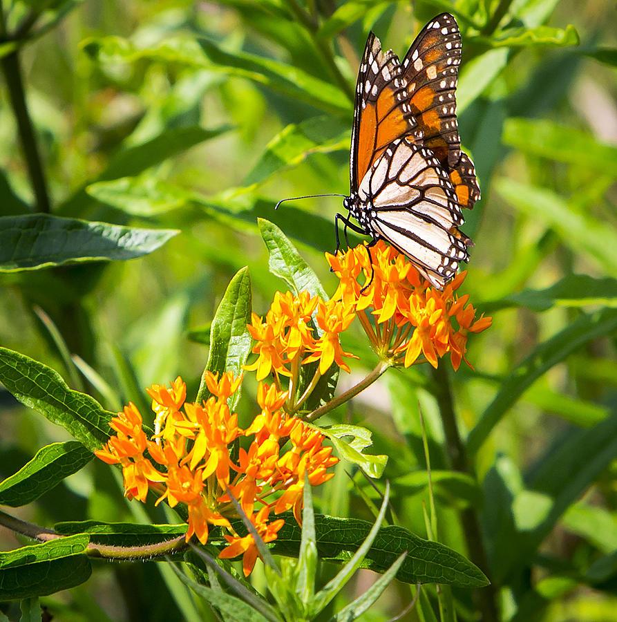 Canon Photograph - Monarch Butterfly Danaus plexippus by Ricky L Jones