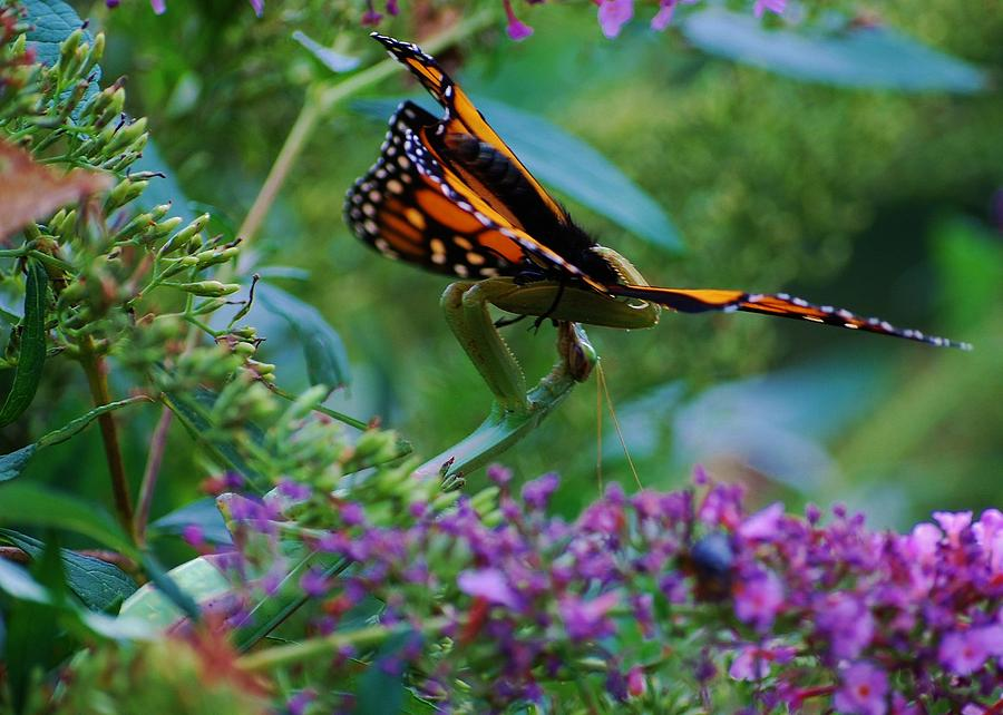 Monarch Butterfly Photograph - Monarch Butterfly Down by Joy Bradley