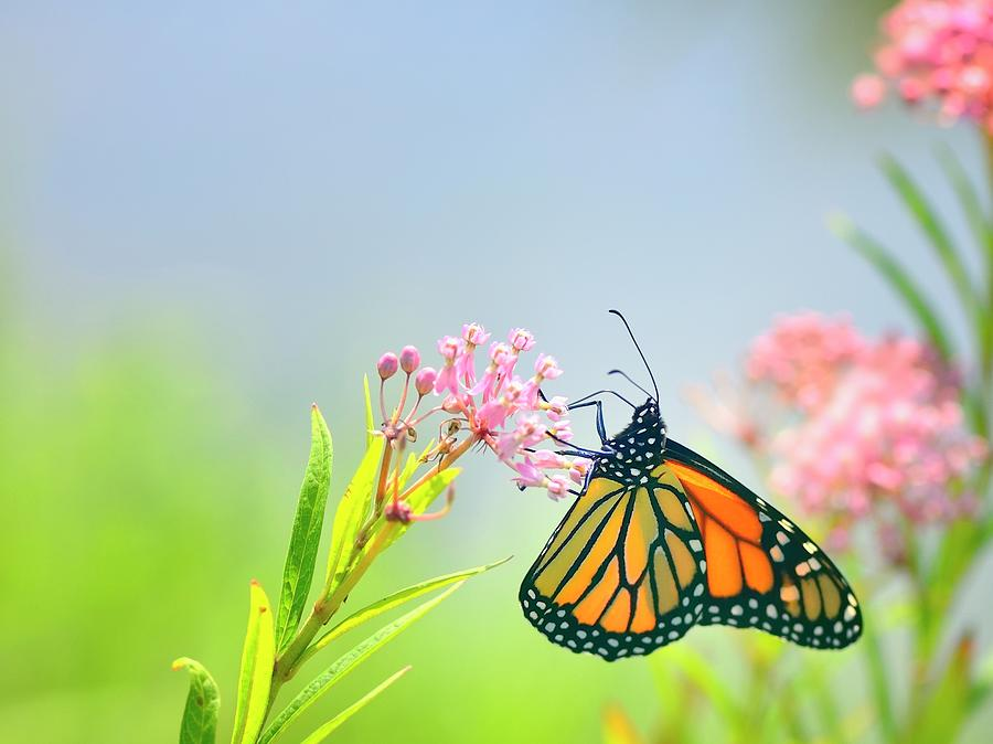 Monarch Butterfly Feeding On Joe Pye Photograph by Joesboy