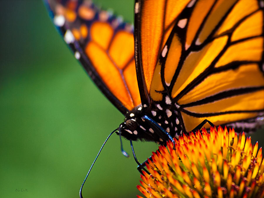 Monarch Photograph - Monarch Butterfly Headshot by Bob Orsillo