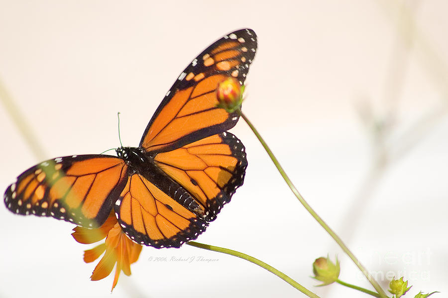 Monarch Butterfly In Flight by Richard J Thompson