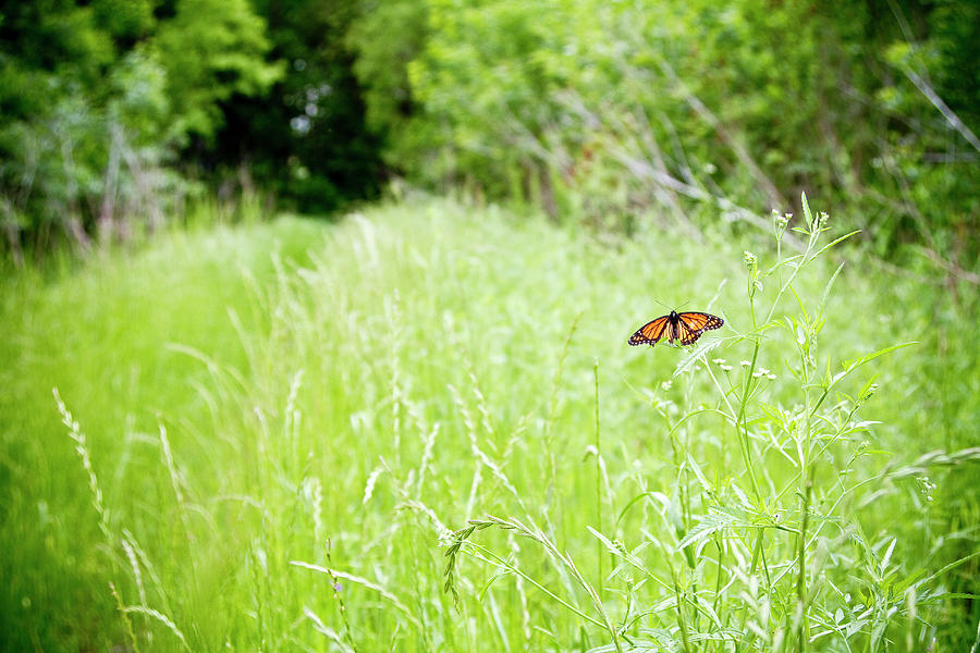 Monarch Butterfly In Green Field Photograph by Thorpeland Photography