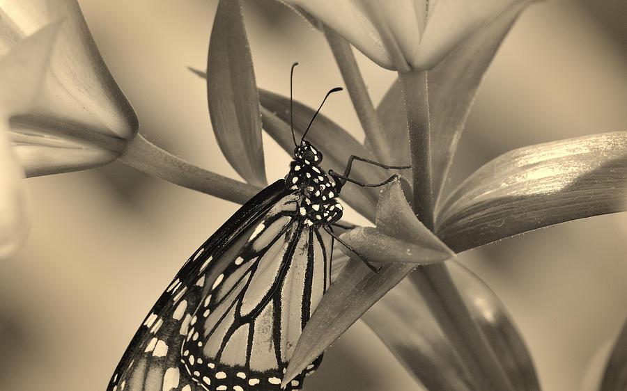 Monarch Butterfly in Warm Tones by Dylan Lees