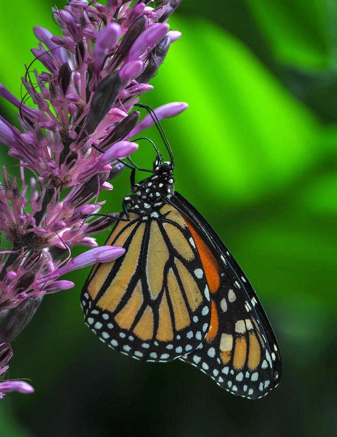 Monarch Butterfly Photograph - Monarch Butterfly  by Nina Haigh