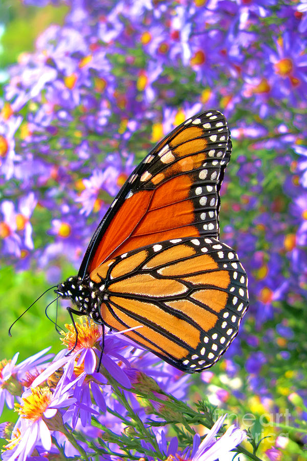 Butterfly Photograph - Monarch Butterfly by Olivier Le Queinec