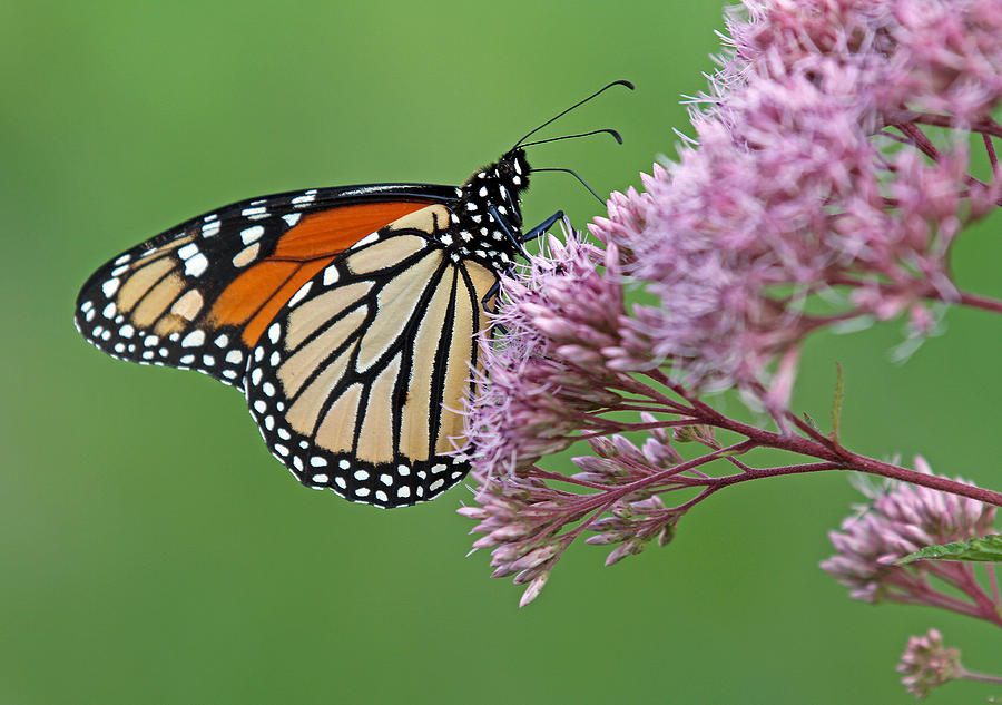 Monarch Photograph - Monarch Butterfly Photography by Juergen Roth