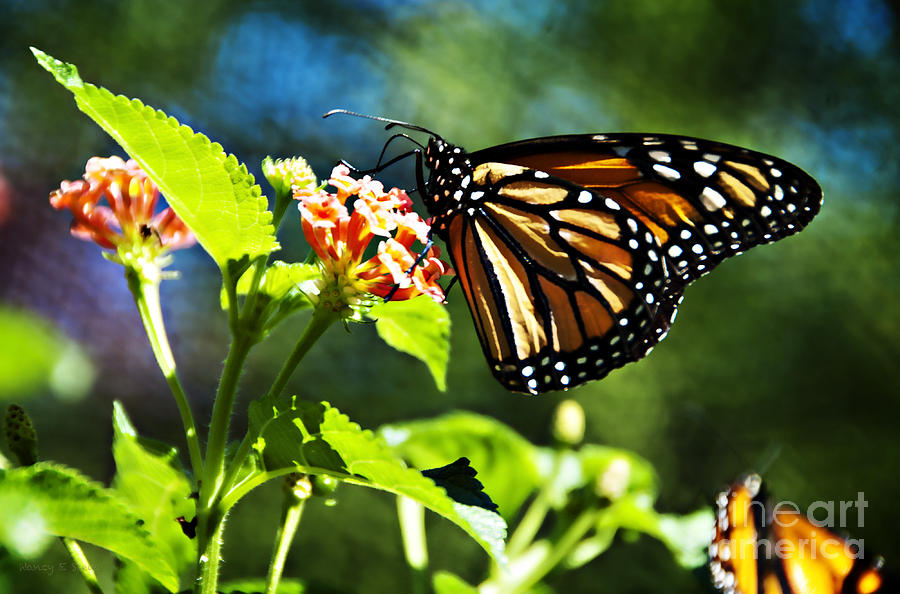 Monarch Butterfly Resting On A Flower Photograph By Nancy